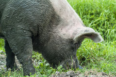 Muddy pig walking on farmland Stock Images