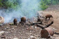 Muddy Pigs Imagem de Stock Royalty Free