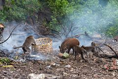 Muddy Pigs Fotografia de Stock
