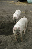 Muddy pigs in field Royalty Free Stock Image