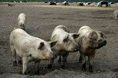 Muddy pigs in a field Stock Photo