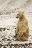 Muddy Polar Bear Sitting Erect. On the snow-covered soil with muddy fur is a cream colored polar bear sitting on it's back legs, erect, with front paws on Royalty Free Stock Photography
