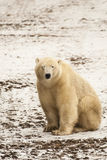Muddy Polar Bear Squinting. On the white snow-covered soil with muddy fur is a cream colored polar bear sitting with eyes closed, squinting stock images