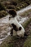 Muddy pup royalty free stock image
