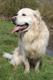 Muddy retriever dog sat on grass Royalty Free Stock Images