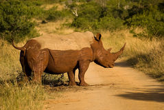 Muddy Rhino. Rhinoceros covered in mud, standing on sand road, side view, African  bush Royalty Free Stock Photography