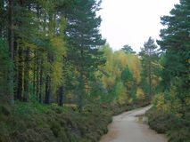 Muddy road leads into the woods of different coloured green near Aviemore. Muddy road leads woods near Aviemore different coloured green aviemorenear royalty free stock photos