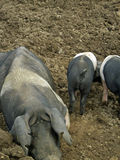 Muddy saddleback pig and piglets in field Stock Photo
