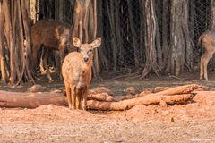A muddy sambar deer kid walking on sunny day in public park. Close view of Deer  walking  at field in sunny day in a public park Royalty Free Stock Photography
