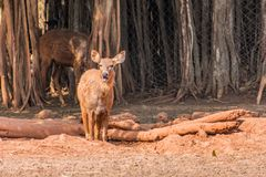 A muddy sambar deer kid walking on sunny day in public park. Close view of Deer  walking  at field in sunny day in a public park Stock Photos