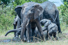 Muddy Scrap At African Elephants Bath Time Stock Images