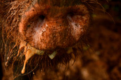 Muddy Snout Royalty Free Stock Photography