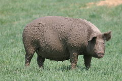 Muddy Sow Stock Photography