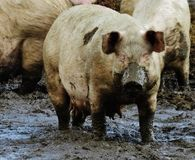 Muddy suffolk pigs Stock Image