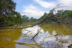 Muddy Tropical River. Muddy brown Tropical Jungle River and Trees Royalty Free Stock Photo