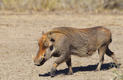 Muddy Warthog Royalty Free Stock Photo
