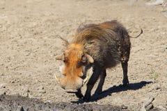 Muddy Warthog Royalty Free Stock Image