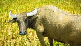 Muddy Water Buffalo Close Up Stock Photo