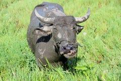 Water buffalo, Vietnam. A muddy water buffalo in a paddy field in Vietnam Royalty Free Stock Photography
