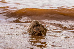 Muddy Water Waves Hitting una roccia, Panshet immagini stock