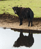 Muddy Yak by Pond Royalty Free Stock Image