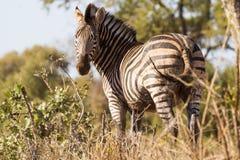 Muddy Zebra royaltyfria foton
