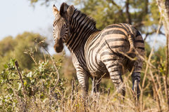 Muddy Zebra Photos libres de droits