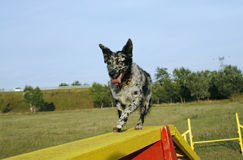 Mudi crossing the dog walk obstacle. At agility course Royalty Free Stock Photography