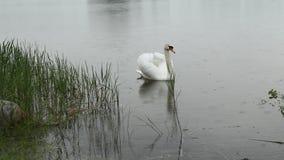 Mudo blanco del cisne en la lluvia almacen de metraje de vídeo