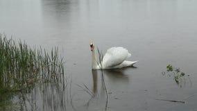 Mudo branco da cisne na chuva vídeos de arquivo