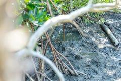 Mudskipper两栖肺鱼鱼在美洲红树森林里 免版税库存图片
