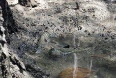 Mudskipper两栖肺鱼鱼 库存图片