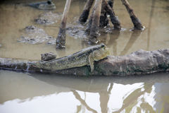 Mudskipper或两栖鱼在美洲红树森林野生生物生命 图库摄影