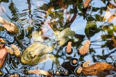 Mudskipper,两栖鱼 免版税库存照片