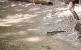 Mudskipper Stockfotos