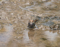 Mudskipper Royalty Free Stock Images