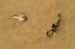 Mudskipper Royalty Free Stock Photos