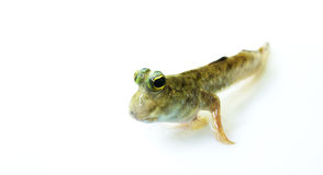 Mudskipper Royalty Free Stock Image