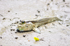Mudskipper arkivfoto