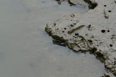 Mudskipper Imagem de Stock