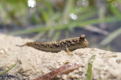 Mudskipper Royaltyfria Bilder