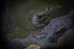 Mudskipper стоковые изображения rf