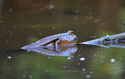 Mudskipper, alimentation de poissons amphibie sur la boue pendant le matin Photos stock