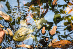 Mudskipper, Amfibische vissen royalty-vrije stock foto's