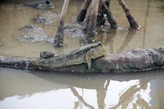 Mudskipper of amfibische vissen in anima van het mangrove boswild Stock Fotografie
