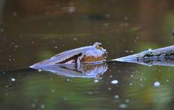 Mudskipper, Amfibische vissen die op de modder in de ochtend voeden Stock Foto's