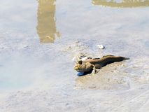 Mudskipper amphibious fish. Close up stock photography