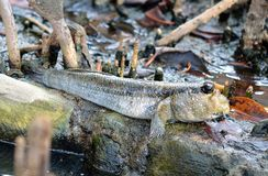 Mudskipper, Amphibious fish. That is Mudskipper, Amphibious fish royalty free stock image