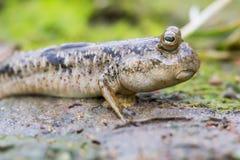 Mudskipper en plano de fango Foto de archivo libre de regalías