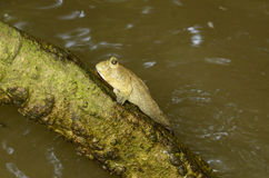 Mudskipper fish Stock Photography